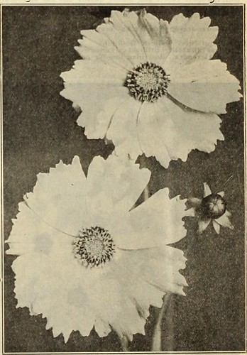 """Image from page 37 of """"Dreer's wholesale price list : decorative and other plants for florists, forcing bulbs, seasonable flower seeds, fertilzers, insecticides, fungicides and florists' sundries"""" (1913)"""