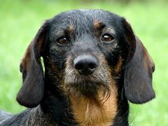 Nuta (Paulaart18) Tags: dog pet black dogs nature golden hotdog sony retriever dachshund blond