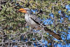 Some Favorites-129 (Roger Kiel) Tags: africa botswana chobe hornbill