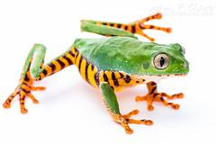 Tiger-Striped Leaf Frog (Phyllomedusa tomopterna) (John P Clare) Tags: brazil peru ecuador colombia venezuela amphibian bolivia guyana frog whitebackground treefrog suriname frenchguiana monkeyleaffrog monkeytreefrog phyllomedusatomopterna tigerstripedleaffrog supertigermonkeytreefrog