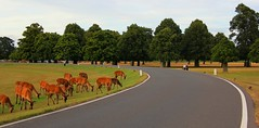 On the road through the oasis [Explored 27th August 2014] (Patrizia Ilaria Sechi) Tags: road uk trees england london nature beautiful animals couple deer oasis serene royalparks reddeer bushypark leadinglines londonparks