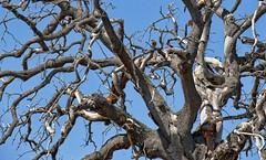 old oak tree... (sermatimati) Tags: tree death oak nikon colore estate magic charm muerte morte tuscany rbol toscana allegory tod encanto mgico toskana simbolismo secco eiche alegora quercia allegorie   zauber contorto  evocativo secolare         sermatimati