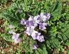 Purple flowers (Florence3) Tags: flowers sicily purpleflowers egadiislands levanza