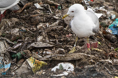 AJ79 (The Gull Explorer) Tags: birds gulls dew landfill commongull laruscanus zabielikis aj79 redpvcring ringeuropelaruscanus raj79