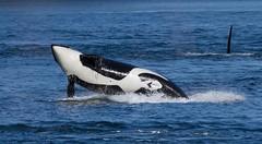 Breach 5 (shashin62) Tags: ocean fish canada water vancouver dolphin whale whales orca breaching orcas whalewatching breach