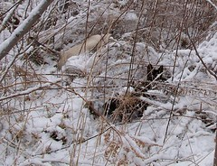 Cats Play Hide-and-Seek in the Snow (Gerald Barnett) Tags: winter cats snow kitties blackcats yellowcats