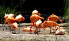 Family Flamingos (copito_m) Tags: naturaleza nature animal nikon animales mywinners abigfave aplusphoto