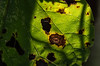 Leaf (mikemcnary) Tags: louisville kentucky leaf green foliage color brown yellow decay shadow digital