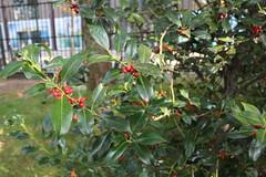 Petit houx-1 (So_P) Tags: plant plante de harajuku shrub bercy parc strauch petit 2014 houx arbuste