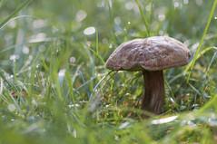 bokehlicious mushroom at early backlight (Uta Naumann) Tags: autumn green fall nature mushroom grass glitter photography lights fotografie bokeh herbst gegenlicht glittering bokehlicious
