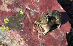 Pika (Xuberant Noodle) Tags: mountain animal mammal montana scree pika
