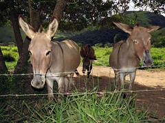 Jegues (Márcio Vinícius Pinheiro) Tags: brazil ass nature brasil rural rj natureza donkey burro pasto pasture asno jumento jerico teresópolis jegue equusafricanusasinus asnodoméstico