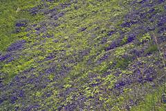 magical valley (Sougata2013) Tags: wild india flower macro beautiful nikon monsoon wildflowers mandi himachalpradesh nikond3200 prashar prasharlake