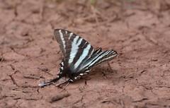 Zebra Swallowtail (thoeflich) Tags: butterfly butterflyweed zebraswallowtail broughtonswildlifeeducationarea
