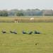 Araras azuis no meio do campo
