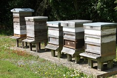Active Bee Hives (tiger289 (The d'Arcy dog supporters club)) Tags: plants chickens gourds vegetables fruit beans vines chili bees tomatoes orchard honey cabbage eggs peas peppers melon tractors greenhouses hothouse pumkin bittermelon mowers rhodeislandred bokchoy pakchoy beehives pollination pollinators workerbees