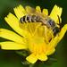 Furchenbiene Halictus scabiosae m 140929 004.jpg