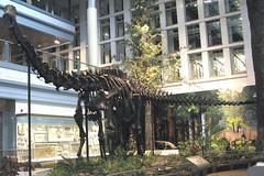 Diplodocus carnegii sauropod dinosaur (Morrison Formation, Upper Jurassic; Sheep Creek, Albany County, southeastern Wyoming, USA) 2 (James St. John) Tags: diplodocus carnegii morrison formation jurassic wyoming bone quarry draw albany sauropod sauropods dinosaur dinosaurs brushy basin member fossil fossils