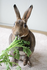 IMG_7552-1 (Rabbit's Album) Tags: pet cute rabbit bunny animals  choco   minirex    canonx7i x7i efs24mmf28stm
