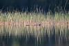 Muskrat(?) in the reeds (AllieKF) Tags: lake nature yellow outdoors michigan upperpeninsula kingstonlake sigma150600 canoneos70d