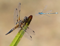 Photo of damselfly attack
