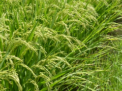 Ready rice (Stop carbon pollution) Tags: japan 日本 honshuu 本州 touhoku 東北 miyagiken 宮城県