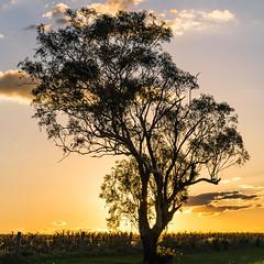sundown silhouette (andrew.walker28) Tags: sunset pilton darling downs queensland australia