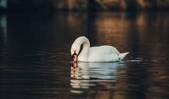 Swan on a river. (Markus1224) Tags: swan schwan river fluss sonnenuntergang sunset nikon d5500 schwäbische alb swabian germany badenwürttemberg