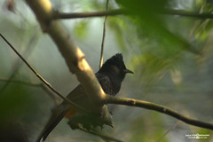 Beautiful Bird (Sajjat Hossain Simul) Tags: bird animel natuer
