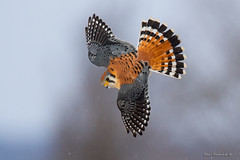 Trouble below.. (Earl Reinink) Tags: falcon hawk raptor kestrel americankestrel earl reinink earlreinink bird animal birdinflight flight noature naturephotography nikon d5 niagara ontario canada winter teddrdadoa