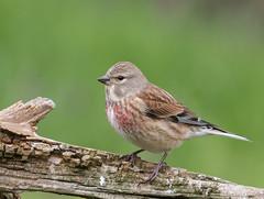 18 03 2017 (cathyk31) Tags: cardueliscannabina commonlinnet fringillidés linottemélodieuse passériformes bird oiseau