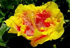 For Julius who loves hibiscus flowers (+1) (peggyhr) Tags: peggyhr hibiscus yellow pink green dedication frilly dsc07795a hawaii thegalaxy variegatedhibiscus level1peaceawards thelooklevel1red thelooklevel2yellow rainbowofnaturelevel1red cliqueforfriendsandartists thelooklevel3orange carolinasfarmfriends infinitexposurel1 gallery visionaryartsgallerylevel1 thelooklevel4purple rainbowofnaturelevel2orange ruffled thegalaxystars thegalaxystarshall0ffame thelooklevel6blue thelooklevel7white thelooklevel8gold