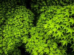 20140604_02 (jam343) Tags: green leaves japan leaf kyoto momiji 京都 gr uji 宇治 freshgreen kaede 新緑 grd カエデ モミジ gr3 kowata 松殿山荘 grd3