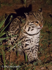 Ocelot (Jim Scarff) Tags: brazil miranda mammals ocelot matogrossodosul carnivores carnivora felidae felids leopardispardalis