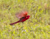 red bird in flight (dominick toscano) Tags: park new blur never flower color bird nature canon fun photography freedom photo crazy cool nice nikon friend funny flickr florida bokeh pics pic neat nic now flickrstruereflection1