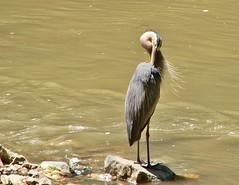 Great Blue Heron (mcnod) Tags: heron june greatblueheron 2014 patapscoriver patapscovalleystatepark mcnod