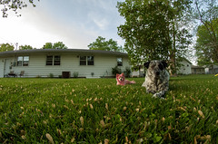 Dogs on the lawn (severalsnakes) Tags: pink dog tree dogs grass yard backyard pentax lawn seed fisheye helicopter pomeranian dyed 835 k30 rokinon