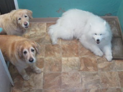 (happy_hounds) Tags: dogdaycare dog daycare puppy pups boarding cagefree dogsofflickr purebred rescuedog happyhounds plymouthmichigan happyhoundsdogdaycare