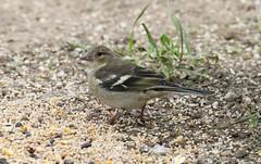 Common Chaffinch ~ Fringilla coelebs ~ Weybourne Garden (Rowettia) Tags: birds norfolk weybourne weybournegarden uk commonchaffinch fringillacoelebs