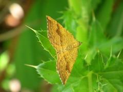 Yellow_Shell_Moth_080614