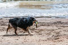 Gracie-Oregon-July-2014_DSC69370001.jpg (orig_lowolf) Tags: usa dog bird oregon nikon gracie flickr lakeoswego georgerogerspark d300s sigmaaf150500mmf563apodgoshsm willimatteriver