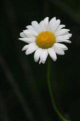 Yellow and White (niureitman) Tags: white flower june yellow digital canon rebel illinois digitalcamera dslr canondslr wilmette eosrebel 2014 wilmetteillinois canondigitaleosrebel digitaleosrebel june2014