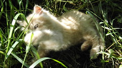 cat heaven (rospix) Tags: uk orange cute nature animal june wales cat video kitten play 2014 fluffly rospix