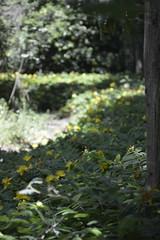 Yellow flowers on the way (Gaia *) Tags: flowers yellow nice san mysterious castel mezzano