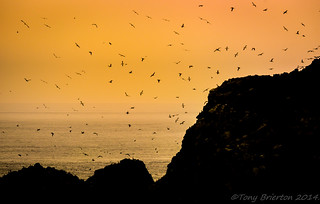 The Gannet Colony...