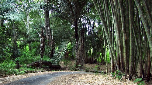 ‌Indonesia - Flores - Bamboo Forest - 1