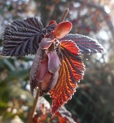 crispy fresh (verabellapiccolachiaragloria) Tags: red spring fresh crispy leafs beech unfolding