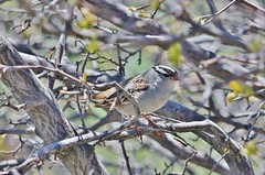 Birding Up Independence Pass