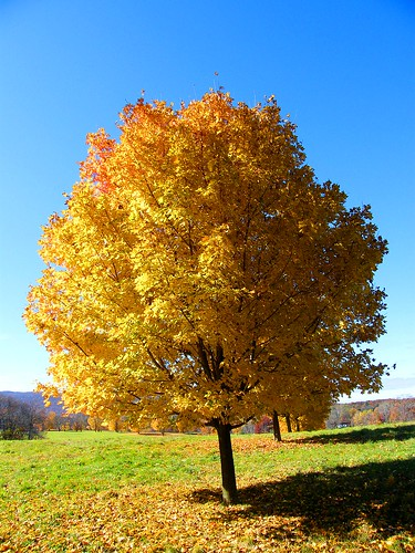 Yellow Autumn Tree