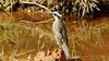 Pitangus sulphuratus (Linnaeus, 1766) (Arystene Nicodemo) Tags: pitangus sulphuratus passeriforme bentivi tiranídeos